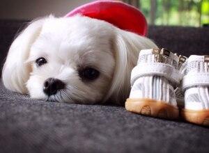 Resultado de imagen para 犬 Maltese 靴